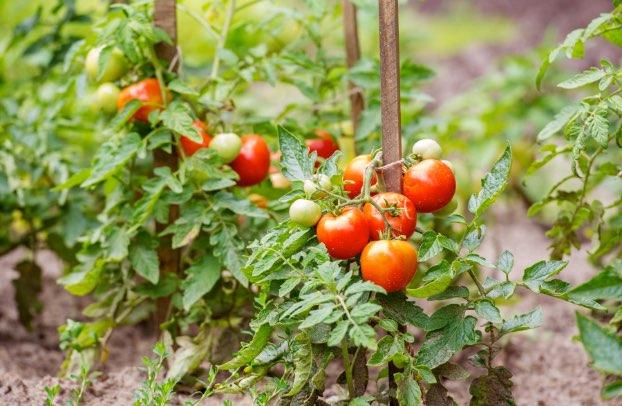 Производство на зеленчуци